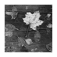 Frozen2 (qarqonosh) Tags: 501cm hasselblad trix 16mm 80mm tanol moersch winter frost leaves wood