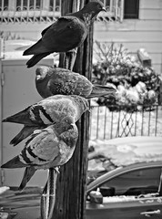 Early Birds & Late Sleepers (Robert S. Photography) Tags: pigeons birds powerlines bw nyc brooklyn sony l340 iso100 january 2017