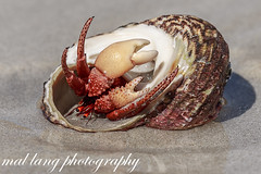 Hermit Crab In a Turban sea snail shell (Malcom Lang) Tags: sand sea ocean shell seasnail crab hermit home house living claws claw eyes crustacean anomura southaustralia southern south southernaustralia southerneyrepeninsula southernocean australia australian aussie macro canon180mm canoneos6d canon canon6d canonef beach water ag ngc wildlifeofaustralia