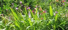"""De zomer schildert voor ons een pracht aan bloemen. --  """"In explore"""" (mia_moreau) Tags: flowers nederland natuur planten bloemen buiten limburg bloem zuidlimburg fleurig tafereel bloemenveld"""