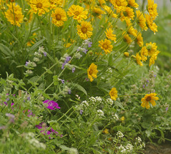 Coreopsis, Catmint, Alyssum (TaraFly) Tags: flowers summer garden spring bloom dianthus alyssum coreopsis catmint