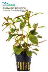 Aquaflora - Ludwigia perennis (Filipe Oliveira (FAAO)) Tags: plant aquarium greenhouse aquatic freshwater planted aquascaping faao aquaflora