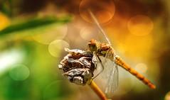 Dragonfly - Libelle (Delbrücker) Tags: macro nature animal insect lights dragonfly bokeh natur makro libelle insekt tier nikkor105mm nikond610