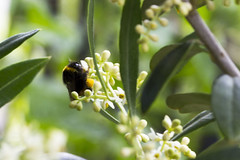 Bumblebee on Olive Blossom
