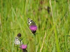 butterflies (menchuela) Tags: menchuela floressilvestres wildflowers pinkflowers floresrosadas butterfliesandmoths butterfly marbledwhite mariposas melanargiagalathea british flora britishfauna