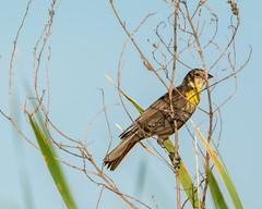 MarshBlackbird (jmishefske) Tags: lake bird june wisconsin big nikon marsh blackbird yellowheaded muskego 2015 d7100 bigmuskegolake