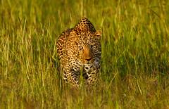 African Leopard (markrellison) Tags: africa wild animal cat kenya wildlife hunting leopard bigcat flies f56 stalking iso1600 lightroom bigfive masaimara eastafrica buzzing africanleopard 420mm spottycat 11250sec lrcc ef300mmf28lisusm14x canoneos5dmarkiii maranorthconservancy lightroomcc