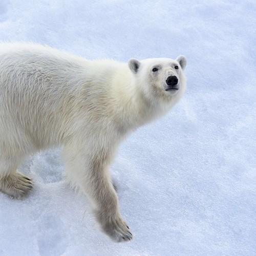 polarbear quark polarbears northpole nuclearicebreaker 50letpebody