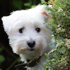 """""""But I don't want to come in !!"""" (www.stevengreenphotogallery.com) Tags: uk england white west westie terrier highland gb westhighlandterrier"""