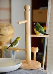 DSC_7846 (Jenny Yang) Tags: pet bird lady finch gouldian