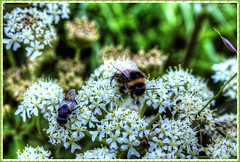 Father and Son (Billy McDonald) Tags: flowers nature scotland bees fatherandson hdr