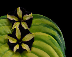 Colors of Late Summer (njk1951) Tags: flowers summer green glass yellow closeup leaf petunia hosta summercolors patternsinnature hostaleaf