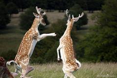Deer's Fighting (Alex Jenkins Photography) Tags: fight deer national trust fallow