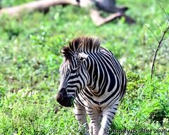 Hluhluwe-Imfolozi 003 (REBlue) Tags: southafrica kwazulunatalprovince hluhluweimfolozipark burchellszebra