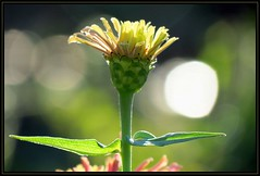 IMG_2496 I Am Groot (Welcome to the New Year) 10-6-16 (arkansas traveler) Tags: flowers zinnia zoom telephoto abstract abstraction nature naturewatcher natureartphotography bokeh bokehlicious