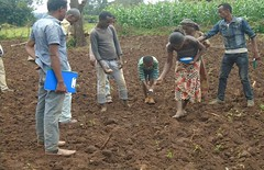 Line sowing of tef and placement of fertilizer (isfm ethiopia) Tags: 2016 oromia gudeya bila line sowing inorganic fertilizer training improved agronomy teff