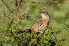 Espinero Pecho Manchado (Phacellodomus striaticollis) (Javier Chiavone) Tags: argentina aves ceibas entrerios espineropechomanchado litoral phacellodomusstriaticollis