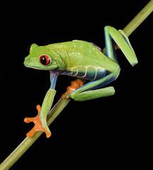 Red Eyed Tree Frog (susie2778) Tags: captivelight captive studio flash bournemouth frog redeyedtreefrog em5markii 60mmmacrof28 agalychniscallidryas