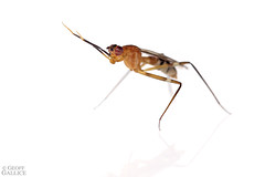 Wasp mimicking micropezid fly (ggallice) Tags: stiltleggedfly micropezidae waspmimic mimicry ichneumonidae losamigosbiologicalstation peru amazon rainforest southamerica madrededios