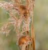 JWL3579  Harvest Mice.. (jefflack Wildlife&Nature) Tags: harvestmouse harvest mouse mice rodent rodents crops fields farmland countryside wildlife animal nature ngc npc