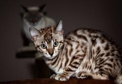 """Little"" Johnny - young Leopard Cat (ulibrox) Tags: haustier 5dii johnny bengale tier canon tiere ef85mmf18 bengalkatze cat katze leopardcat prionailurusbengalensis kitten indoor"
