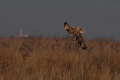 IMGP8566c Short-eared Owl, Burwell Fen, January 2017 (bobchappell55) Tags: shortearedowl burwellfen bird birdsofprey nature nationaltrust naturereserve wildlife wild flight asio flammeus