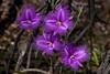 Thysanotus tuberosus (Common Fringe Lily) (Bumble BC) Tags: act asparagaceae australia australiancapitalterritory bestof blackmountain bud buds canberra commonfringelily flower flowers plants purple thysanotustuberosussubsptuberosus
