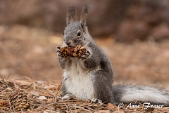 num num... (Anne Marie Fraser) Tags: squirrel numnum num nature wildlife eating eat pinecone