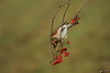 Redwing (Colin Rigney) Tags: nature wildlife colinrigney canoneos7d birds wild wildbird outdoor avian ukwildlife birdsofengland worcestershireuk redwing berries redberries rowanberries