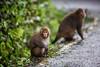 20170131-8M7A5500 (chris_peng) Tags: 獼猴 猴子