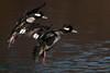 Buffleheads landing (westcoastcaptures) Tags: sonya99ii minoltaaf400f45hsg minoltaapoii14xteleconverter goldeneye esquimaltlagoon waterbird duck vancouverisland