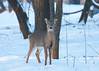 Doe All Curious_934a (sknight56) Tags: deer winter minnesota canon whitetail doe buck cold bloomington ftsnelling