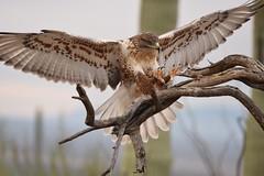 Ferruginous Hawk, incoming.  (Explored) (dbifulco) Tags: explored flight arizona nature bird raptor ferruginoushawk