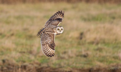 Short Eared Owl (cogs2011) Tags: short eared owl