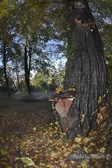 fungo lignicolo, wooden fungus (paolo.gislimberti) Tags: parchiurbani urbanparks wood bosco alberi trees sottobosco undergrowth fungi funghi foglie leaves deadleaves fogliemorte