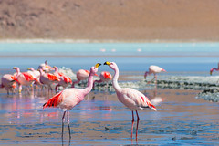 Flamants roses sur la Lagune Colorada (Voyages Lambert) Tags: lagunacolorada safarianimals travel tourism wildernessarea salardeuyuni reserve swarmofinsects wildlifereserve saltlake beautyinnature remote telephotolens atacamaregion atacamadesert scenics majestic idyllic adventure exploration exoticism multicolored red pinkcolor blue colors nationallandmark traveldestinations wildlife nature outdoors closeup peru chile bolivia argentina southamerica flamingo bird animal reflection saltmineral mineral andes desert landscape lagoon pond barren naturalbasin