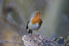 Robin Perching On Log (aaron19882010) Tags: robin redbreast log nature reserve lackford lakes fallen tree canon 750d sigma 600mm 150mm wing back garden birds mealworms outdoors outside wildlife