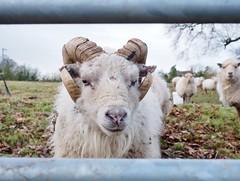 Curious ram (badger_beard) Tags: gate field anglia east countryside country life rural livestock farm cambridgeshire cambs hamerton ram sheep