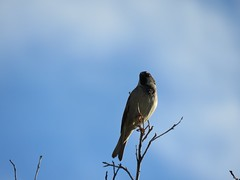 Watching Me (Chic Bee) Tags: birds backyard tree branch mockingbird canonsx60hs wintermonsoon winter monsoon tucson arizona southwesternusa americansouthwest america northamerica
