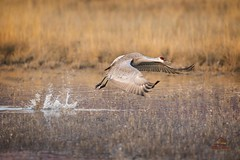 Sandhill Crane Lift-off (Glatz Nature Photography) Tags: birdinflight birds bosque bosquedelapachenationalwildliferefuge cranes glatznaturephotography gruscanadensis nature newmexico nikond5 northamerica onthewing sandhillcrane takeoff wildanimal wildbird wildlife