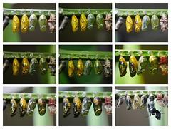 Photographic diary of 4 chrysalises Zoo Tiergarten Schnbrunn photographisches Tagebuch von 4 Puppen in der Puppenstube Teil 1: 15. , 17., 18., 19., 20. 4. 2015 (hedbavny) Tags: schnbrunn vienna wien summer sun color colour green texture yellow butterfly zoo austria sketch sterreich spring pattern sommer diary moth sketchbook unterwegs note gelb ornament grn sonne farbe chrysalis tagebuch muster tiergarten puppe schmetterling frhling spaziergang rundgang chrysalides entwurf skizze hietzing textur notiz chrysalises skizzenbuch maigrn berlegungen entpuppen hedbavny ingridhedbavny