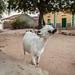 Goat saying Hello, Somaliland