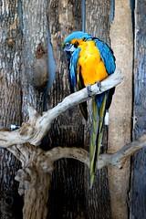 Mulga parrot (Ilhavanchi Kanaganayagam) Tags: summer toronto ontario canada bird nature parrot kingdom niagara mulga birdkingdom mulgaparrot
