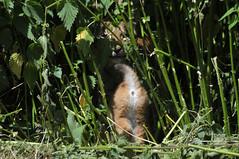 Europäische Luchse im Whipsnade Zoo (Ulli J.) Tags: uk greatbritain england zoo unitedkingdom bedfordshire angleterre dunstable engeland whipsnade royaumeuni grandebretagne eastofengland eurasianlynx storbritannien vereinigteskönigreich grootbrittannië verenigdkoninkrijk eurasischerluchs nordluchs euraziatischelynx lynxdeurasie lynxcommun grosbritannien lynxboréal loupcervier europæisklos zlswhipsnadezoo