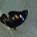 Nymphalidae Nymphalinae>Hypolimnas bolina Blue moon female DSCF2157