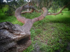 The Y~tree (ThePolaroidGuy [CensoredϟRestricted]) Tags: tree grass ed moss florida branches 4th july edward bark treebark eddie split drake july4th hdr masterphotographer 2015 ytree edwarddrakemfa thepolaroidguy july4th2015 tombennettpark