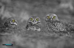 BURROWING OWL WITH BABIES (CHRIS MONTANO JR PHOTOGRAPHY) Tags: california ca wild baby bird nature birds canon eyes babies wildlife owl babie owls birdsofprey nationalgeographic natgeo