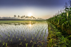 Java-51.jpg (andyfrancombe) Tags: sunrise indonesia landscape java ricepaddies sugarcane mountsemeru