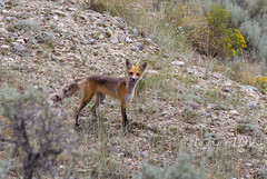 Red Fox (laura's POV) Tags: animals wildlife fox wyoming wilderness grandtetonnationalpark gtnp grosventre lauraspointofview lauraspov