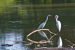 two of a kind (avflinsch) Tags: summer white bird water pond outdoor dirty ibis 500px ifttt
